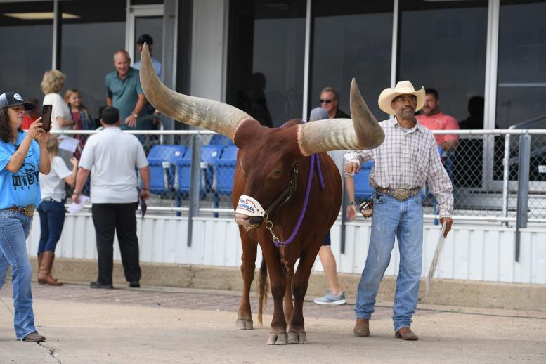 Oliver, the famous Watusi bull
